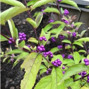 Berried Shrubs for Fall