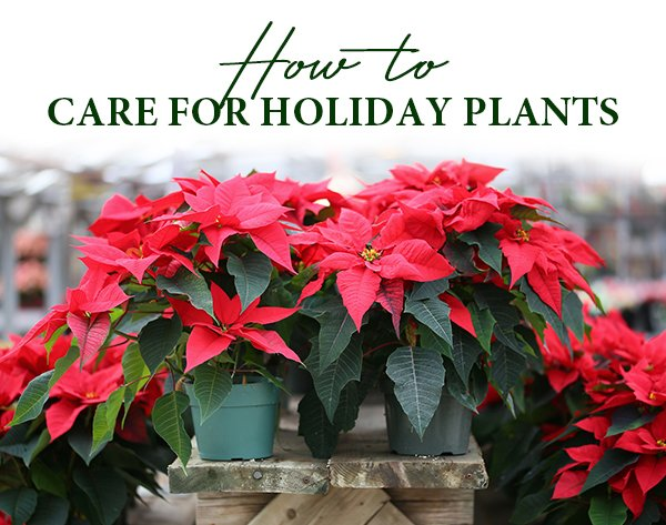 Caring for Holiday Plants
