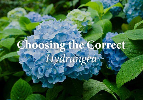 Correct Hydrangea