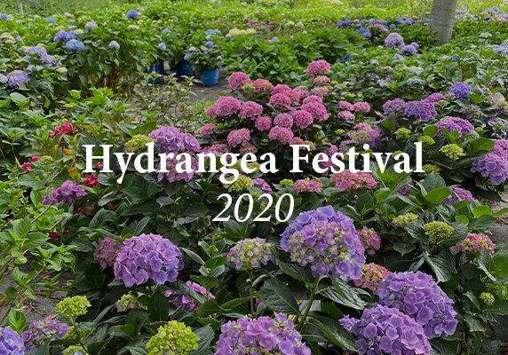 Hydrangea Festival 2020